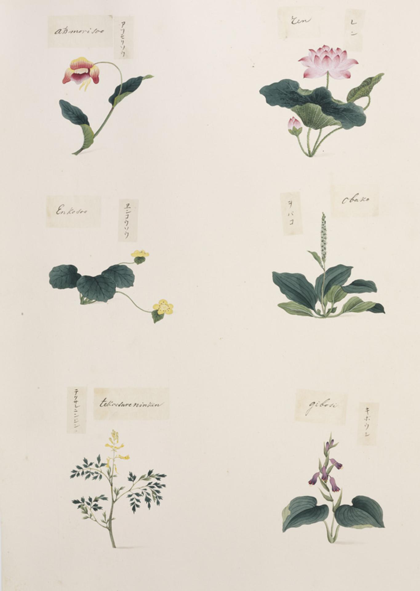 RMNH.ART.283 | Cypripedium macranthum
