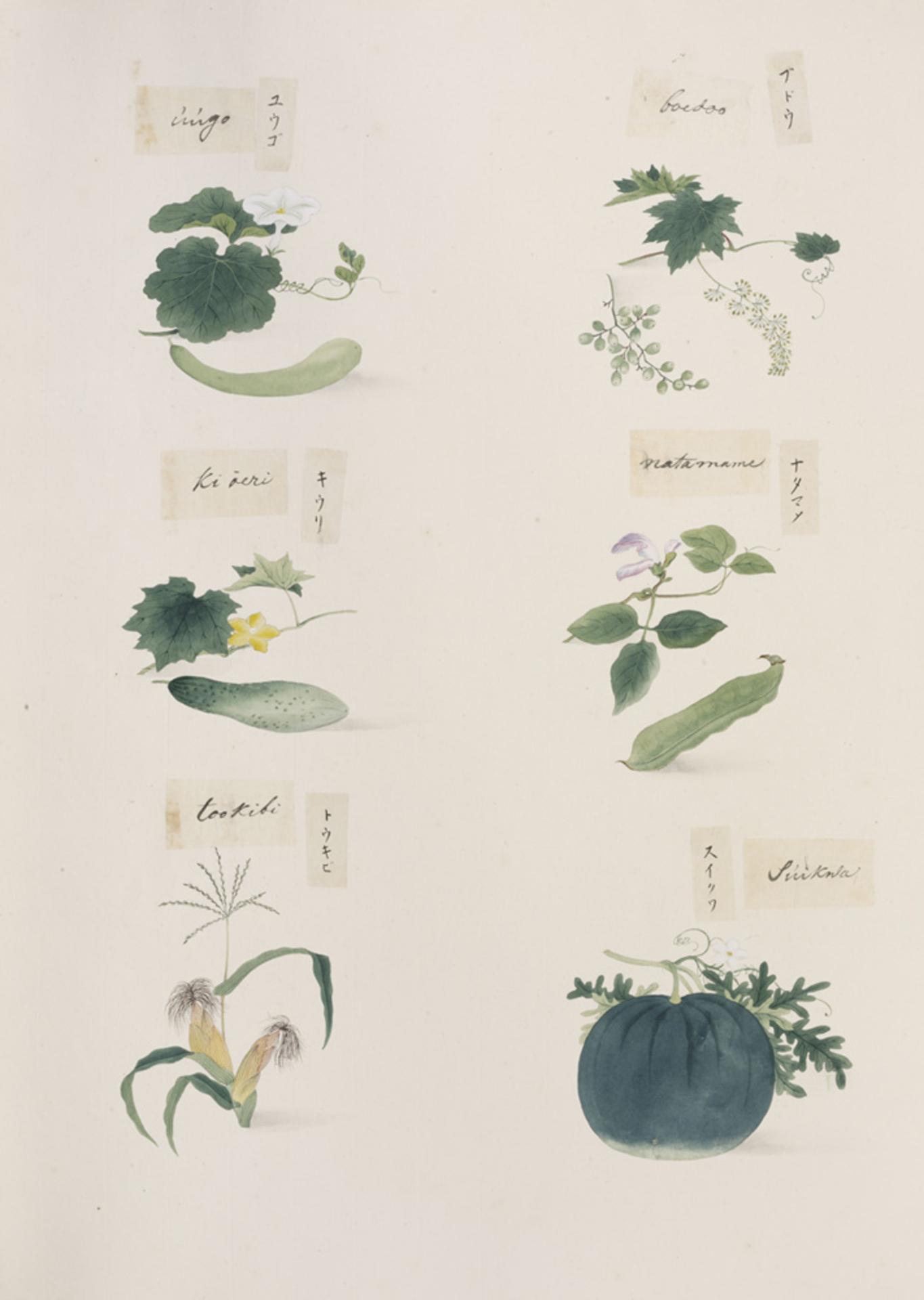 RMNH.ART.287 | Vitis spp.