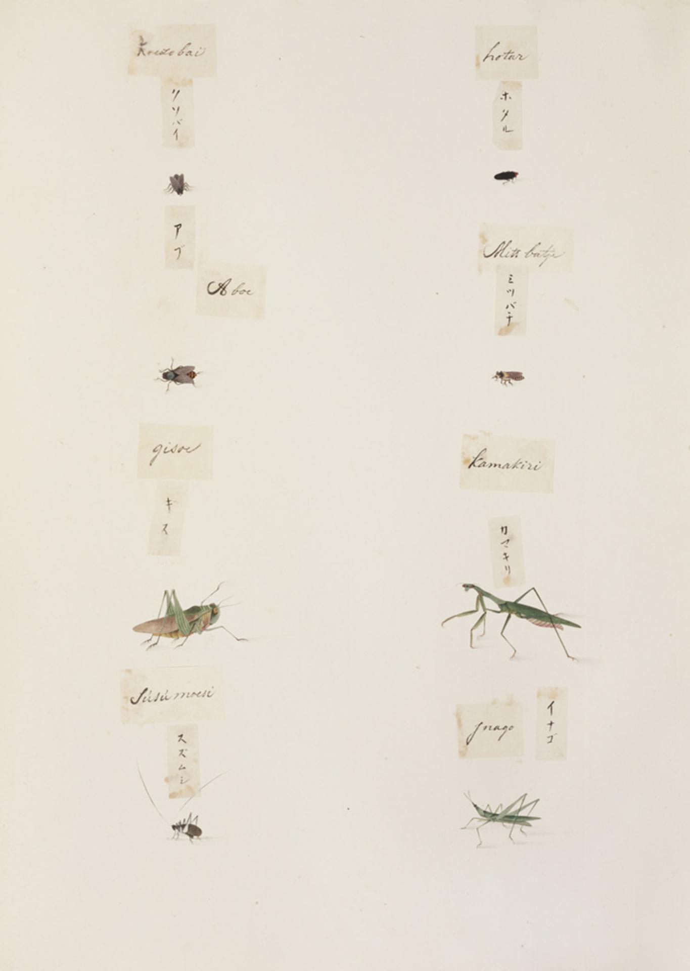 RMNH.ART.288 | Homoeogryllus japonicus
