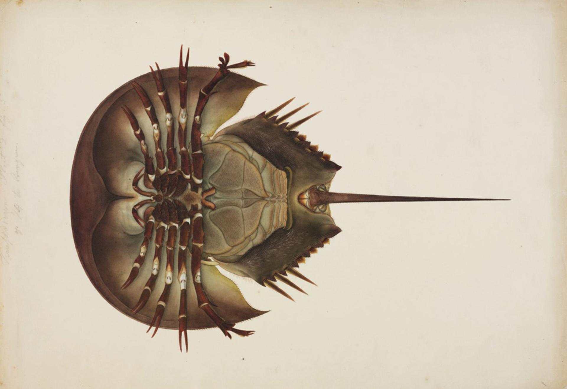 RMNH.ART.29 | Tachypleus tridentatus