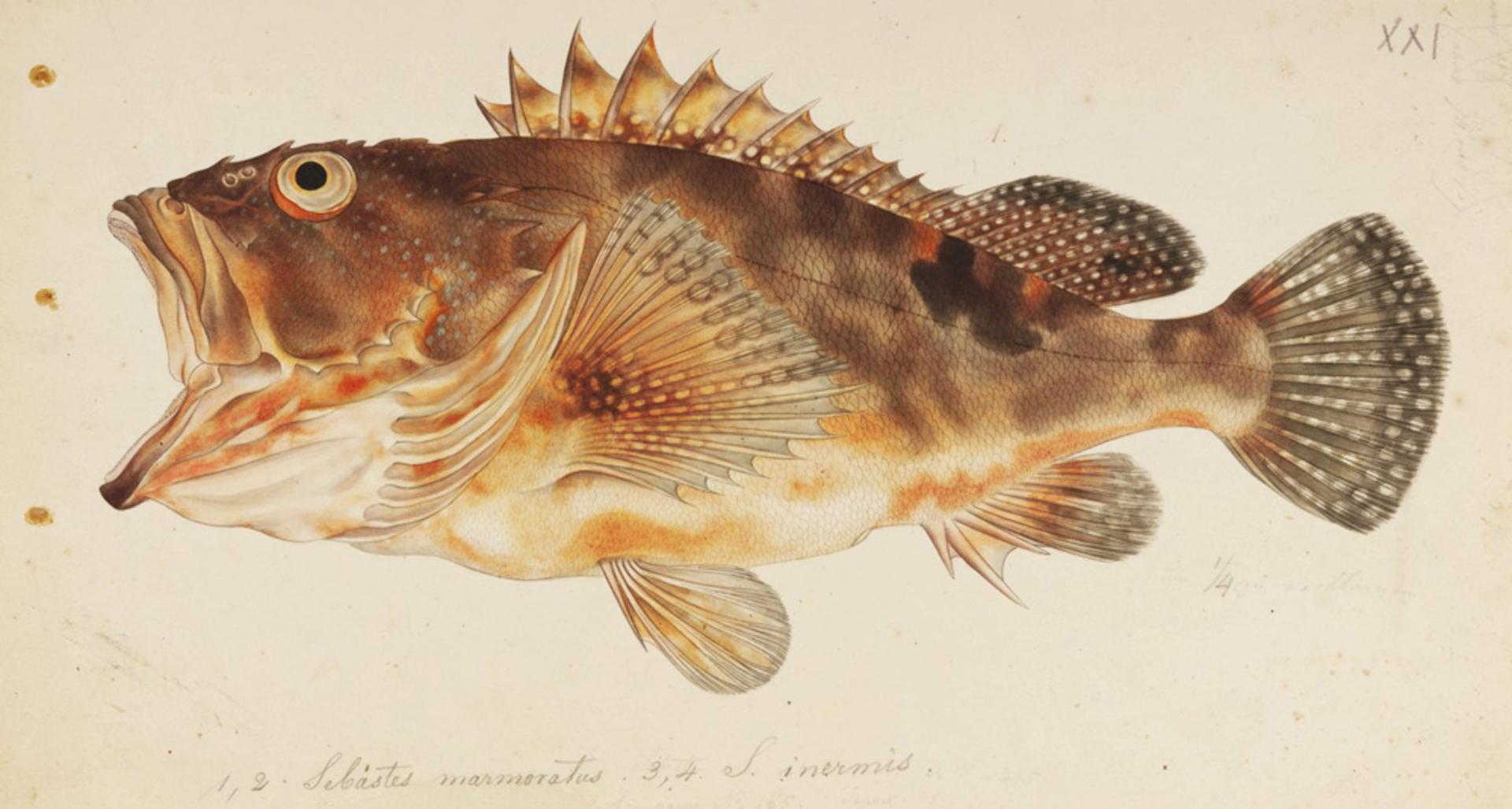 RMNH.ART.291 | Sebastiscus marmoratus