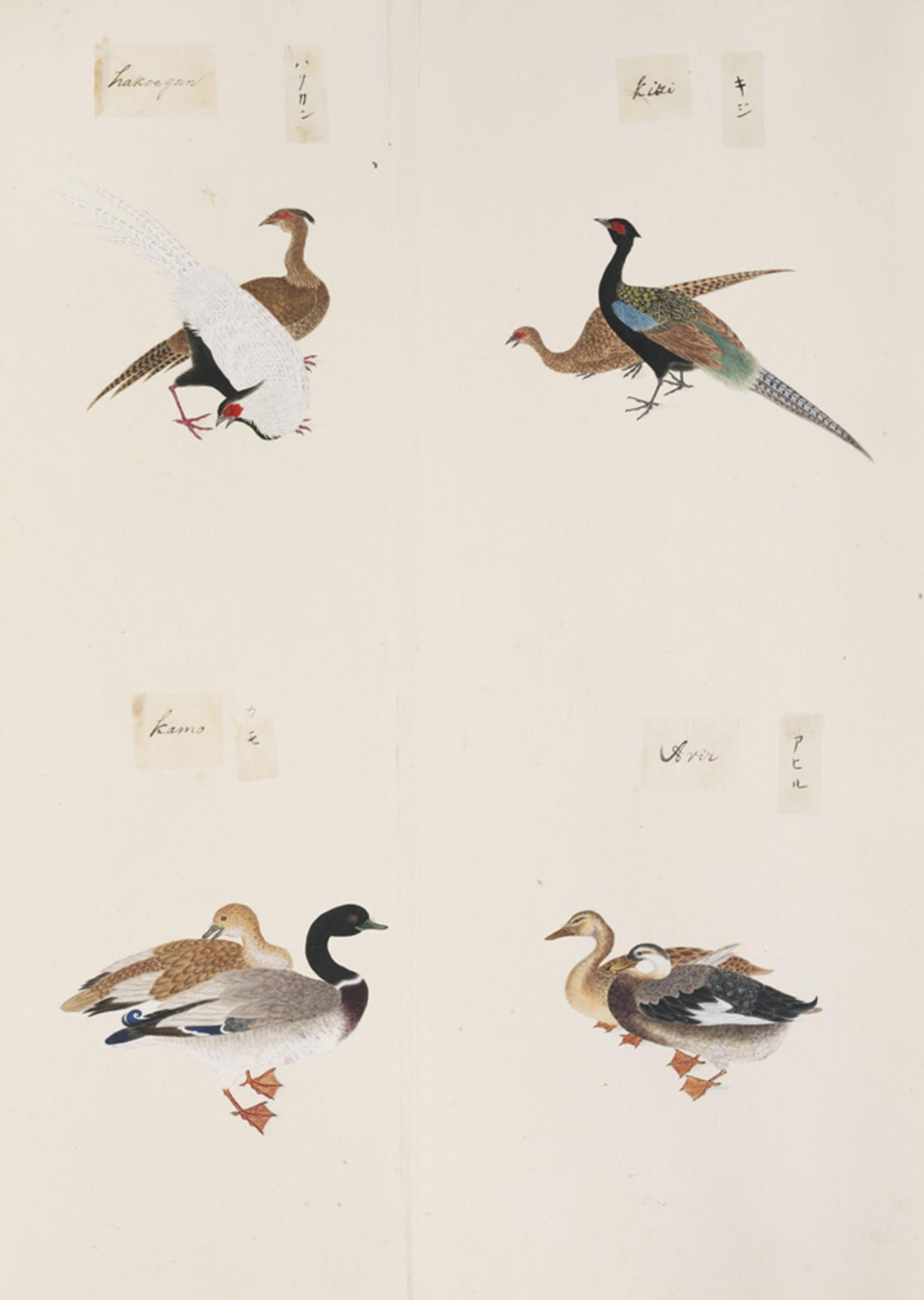 RMNH.ART.293 | Phasianus versicolor