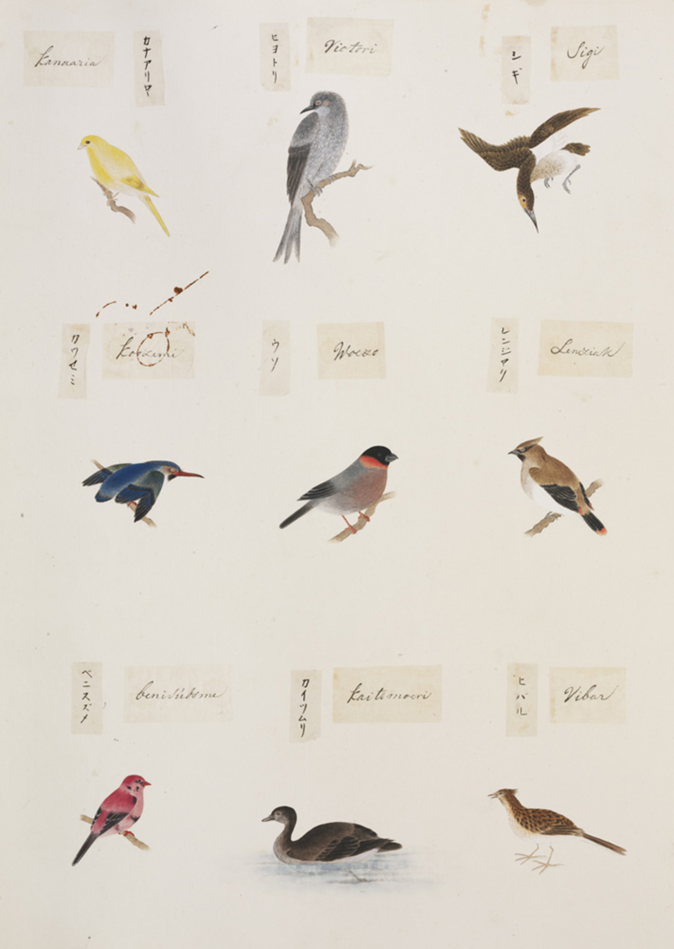 RMNH.ART.296 | Serinus canaria