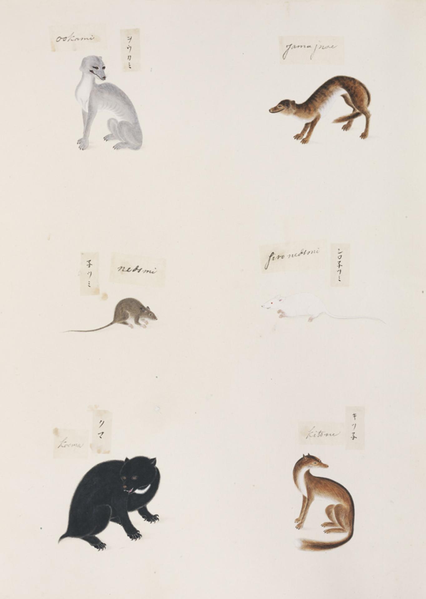 RMNH.ART.297 | Canis lupus hodophillax