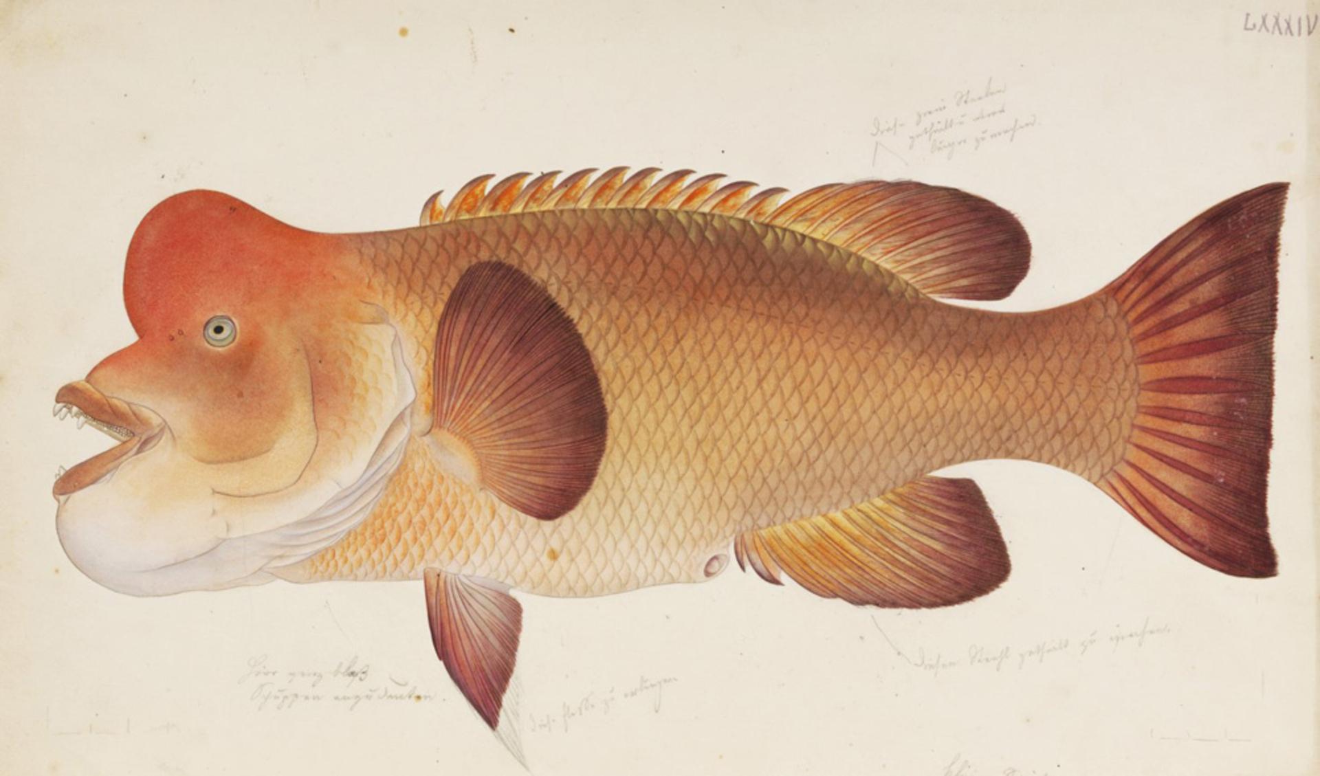 RMNH.ART.3 | Labrus reticulatus