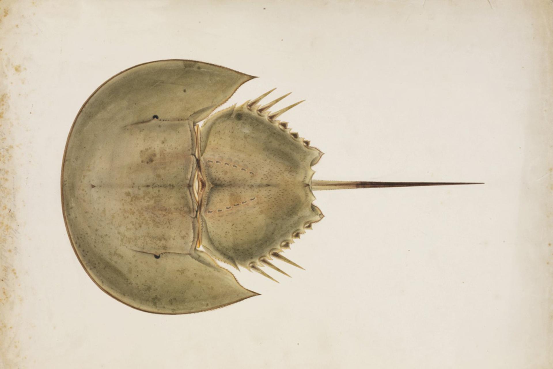 RMNH.ART.30   Tachypleus tridentatus