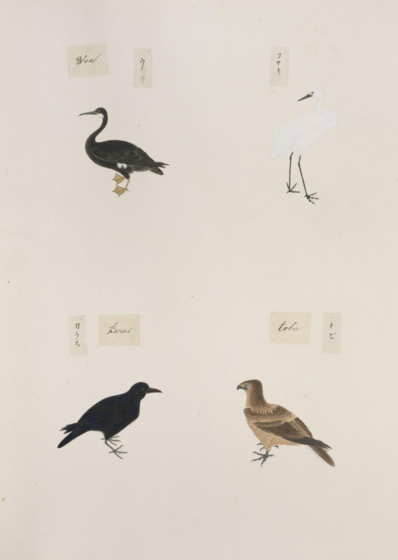 RMNH.ART.305 | Phalacrocorax pelagicus