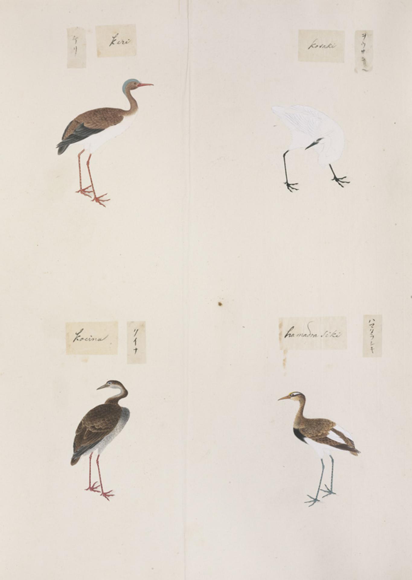 RMNH.ART.306   Rallus aquaticus
