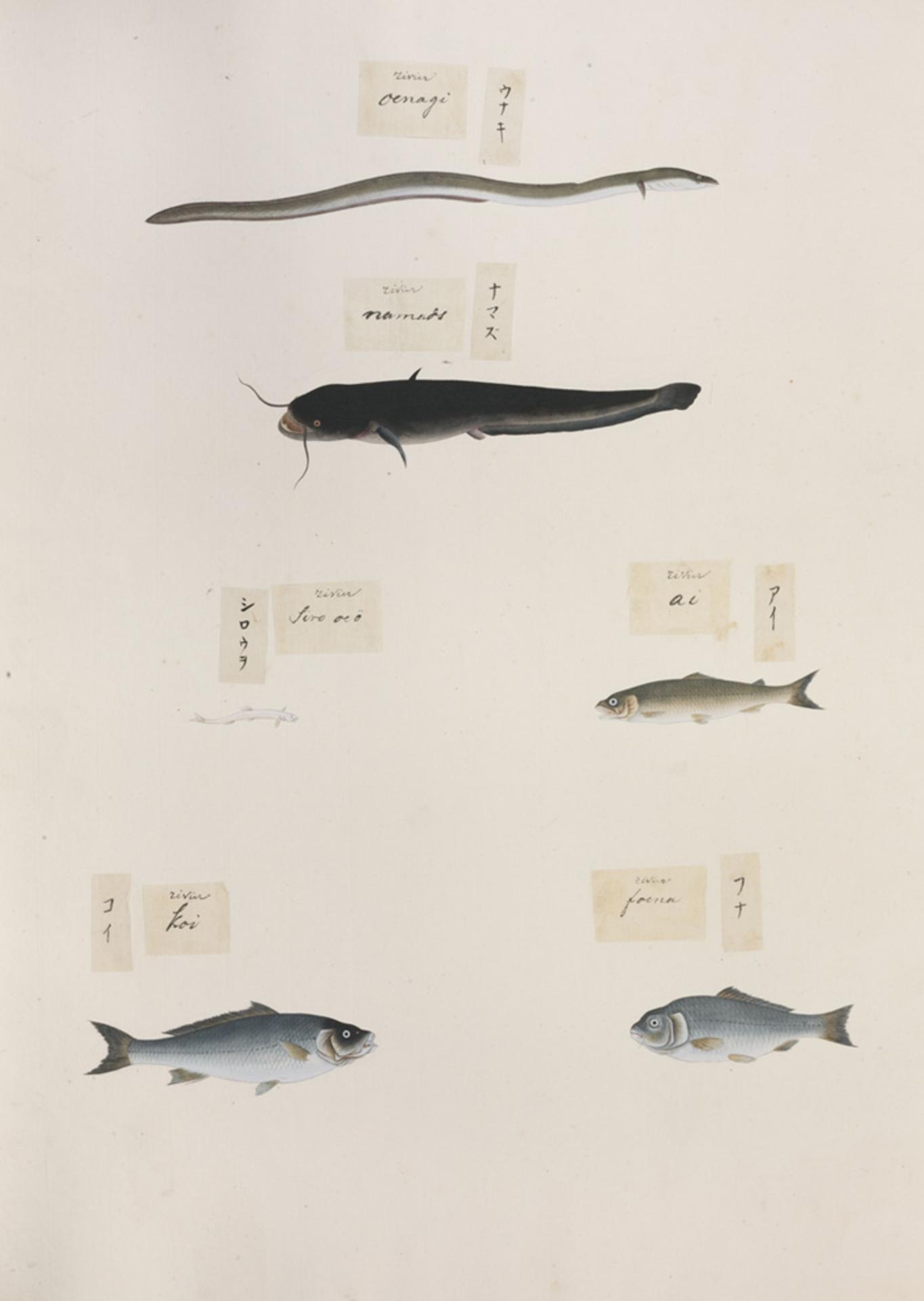RMNH.ART.309 | Anguilla japonica