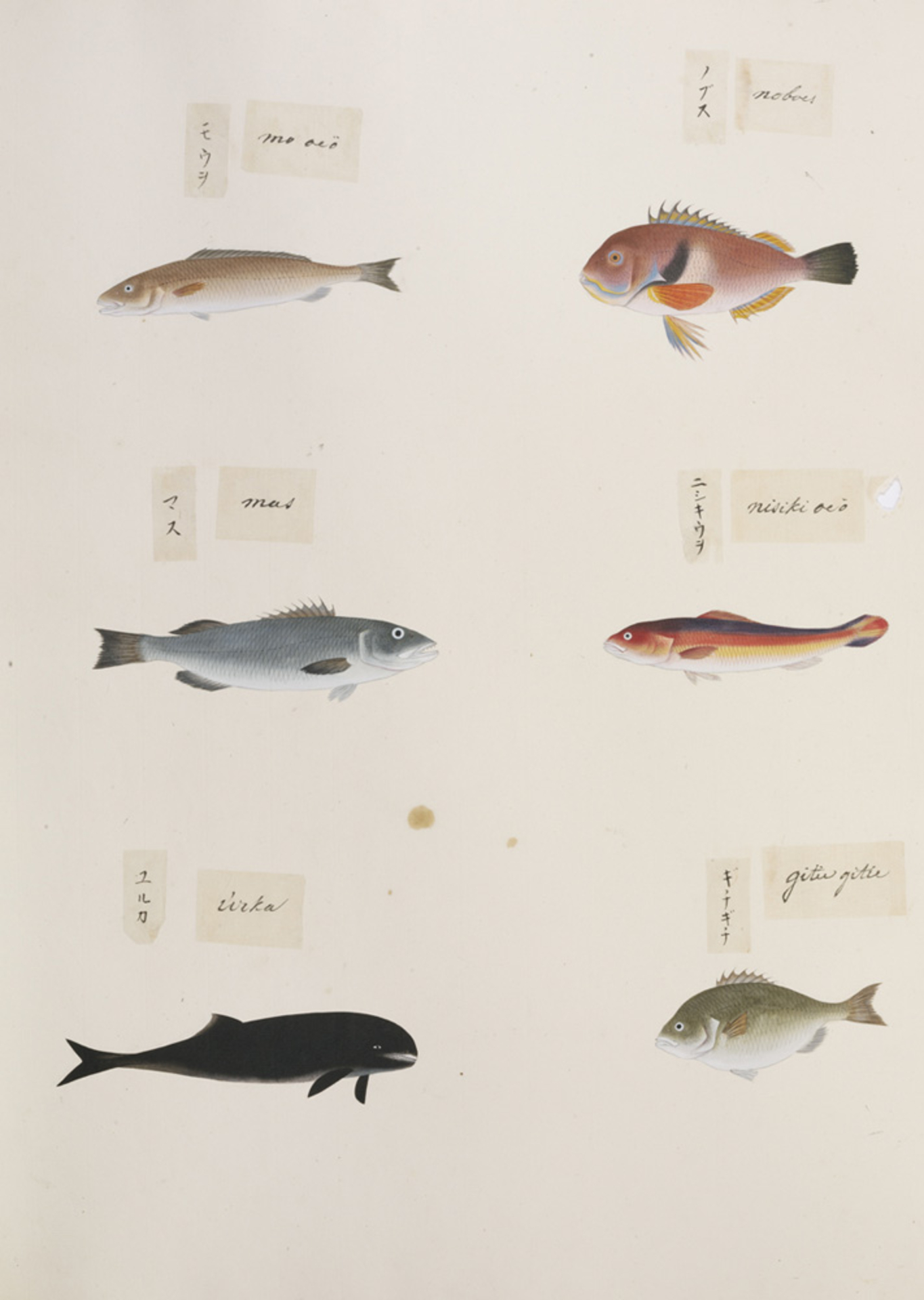 RMNH.ART.314 | Choerodens azurio