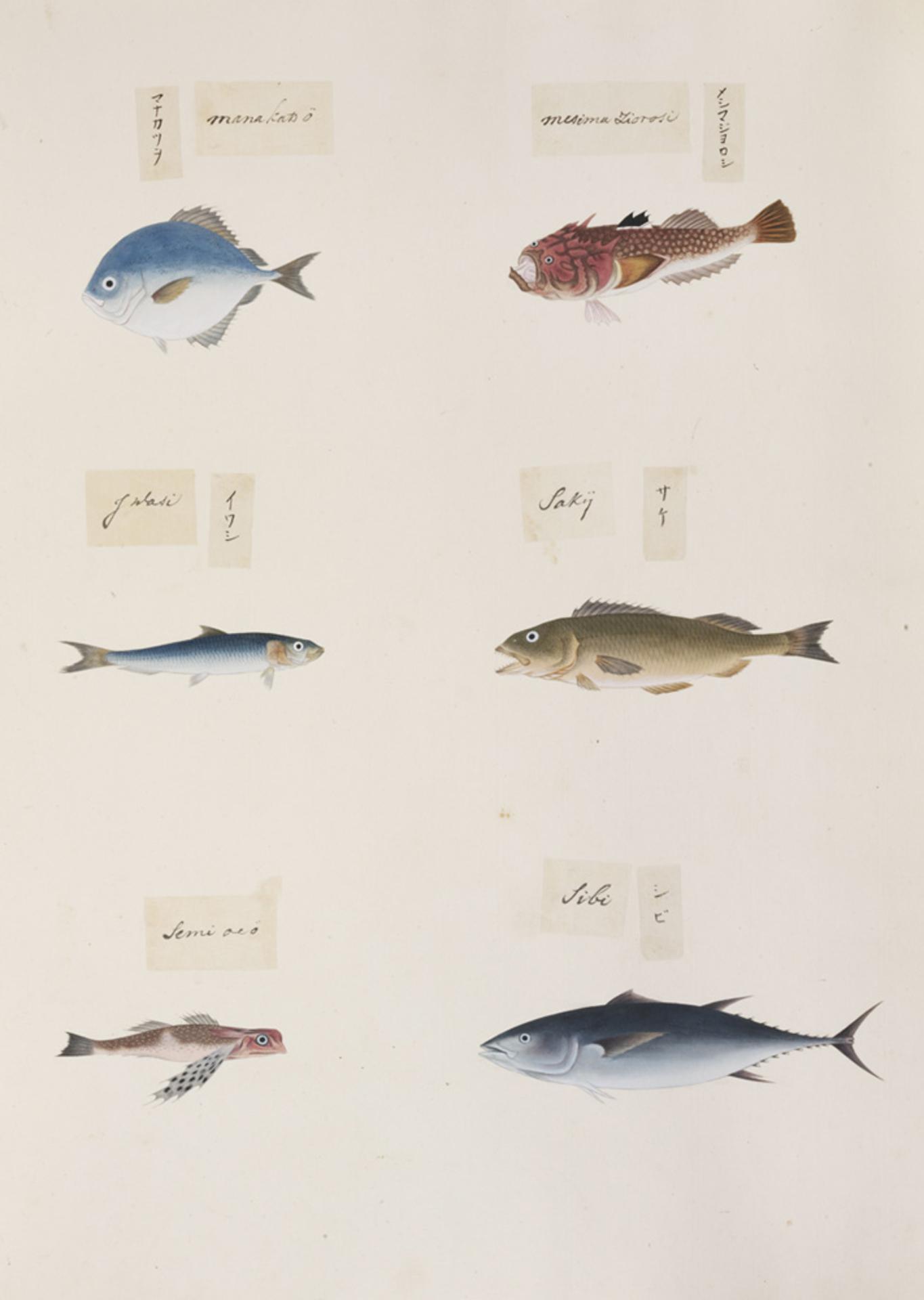 RMNH.ART.315 | Lactoris cornutus