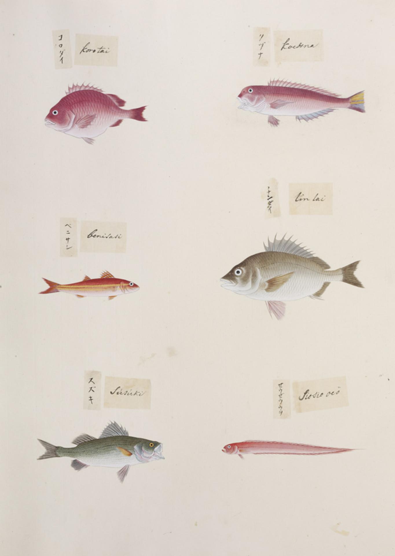 RMNH.ART.316 | Lateolabrax japonicus
