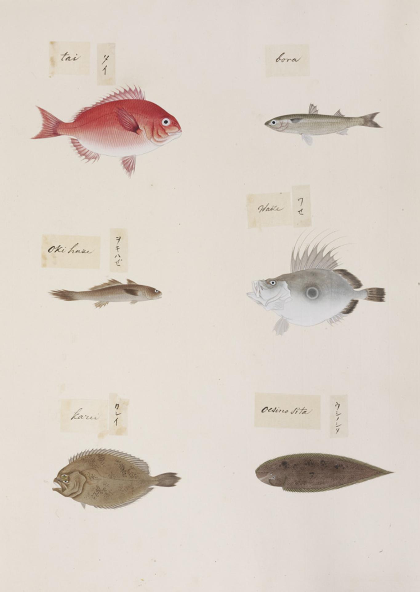RMNH.ART.317 | Paralichthys olivaceus