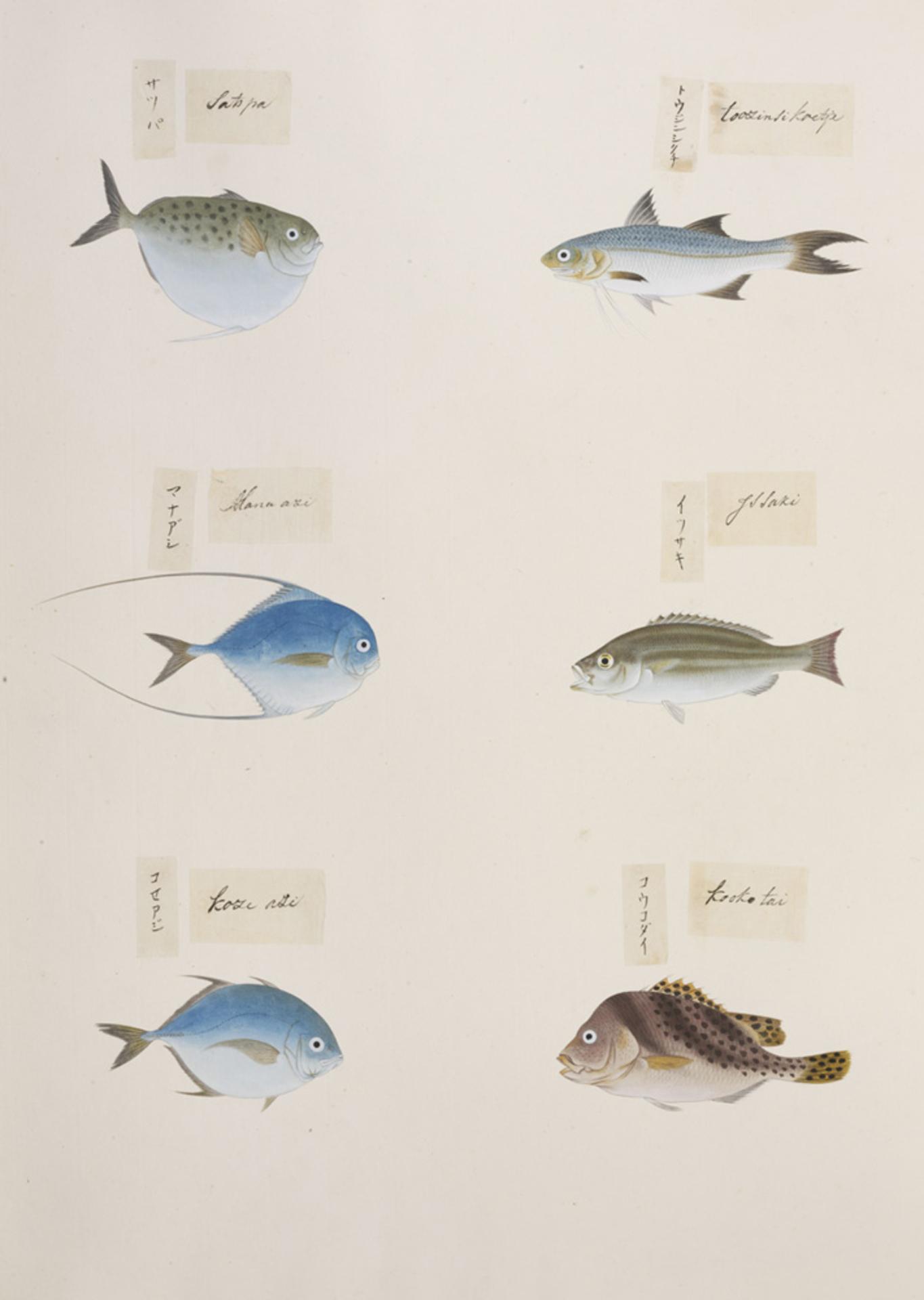 RMNH.ART.318 | Haengula zunasi