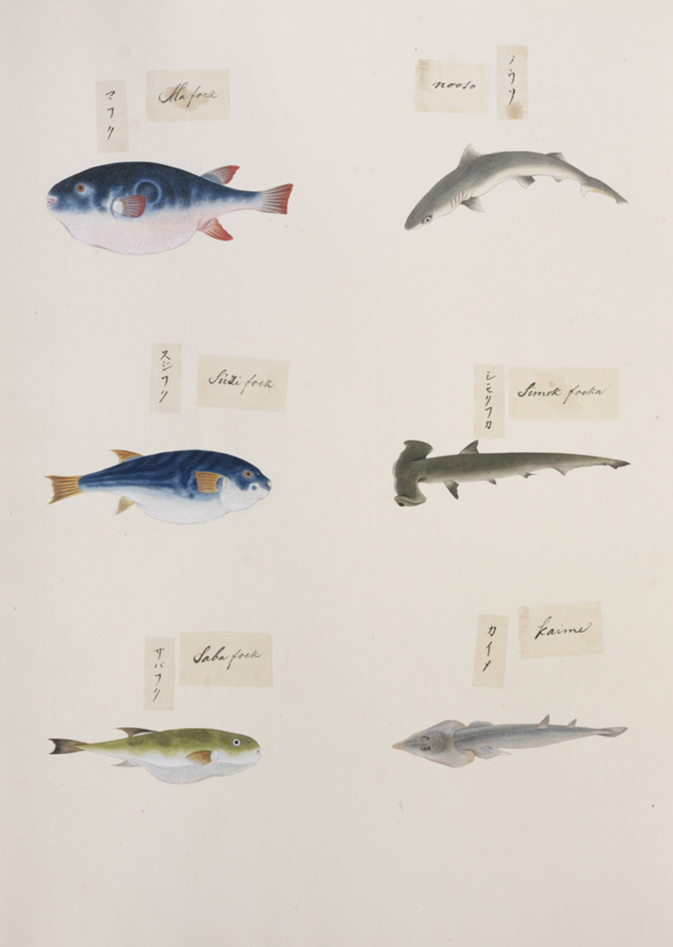 RMNH.ART.320 | Rhipbatos schlegeli