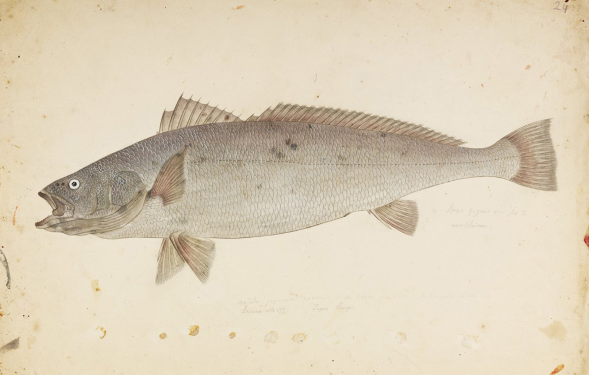 RMNH.ART.321 | Argyrosomus japonicus