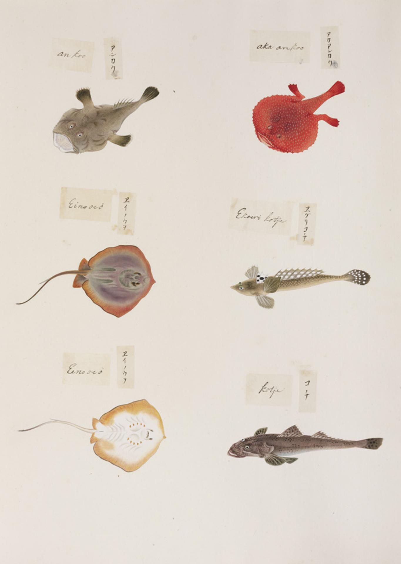 RMNH.ART.322 | Cociella cf crocodila