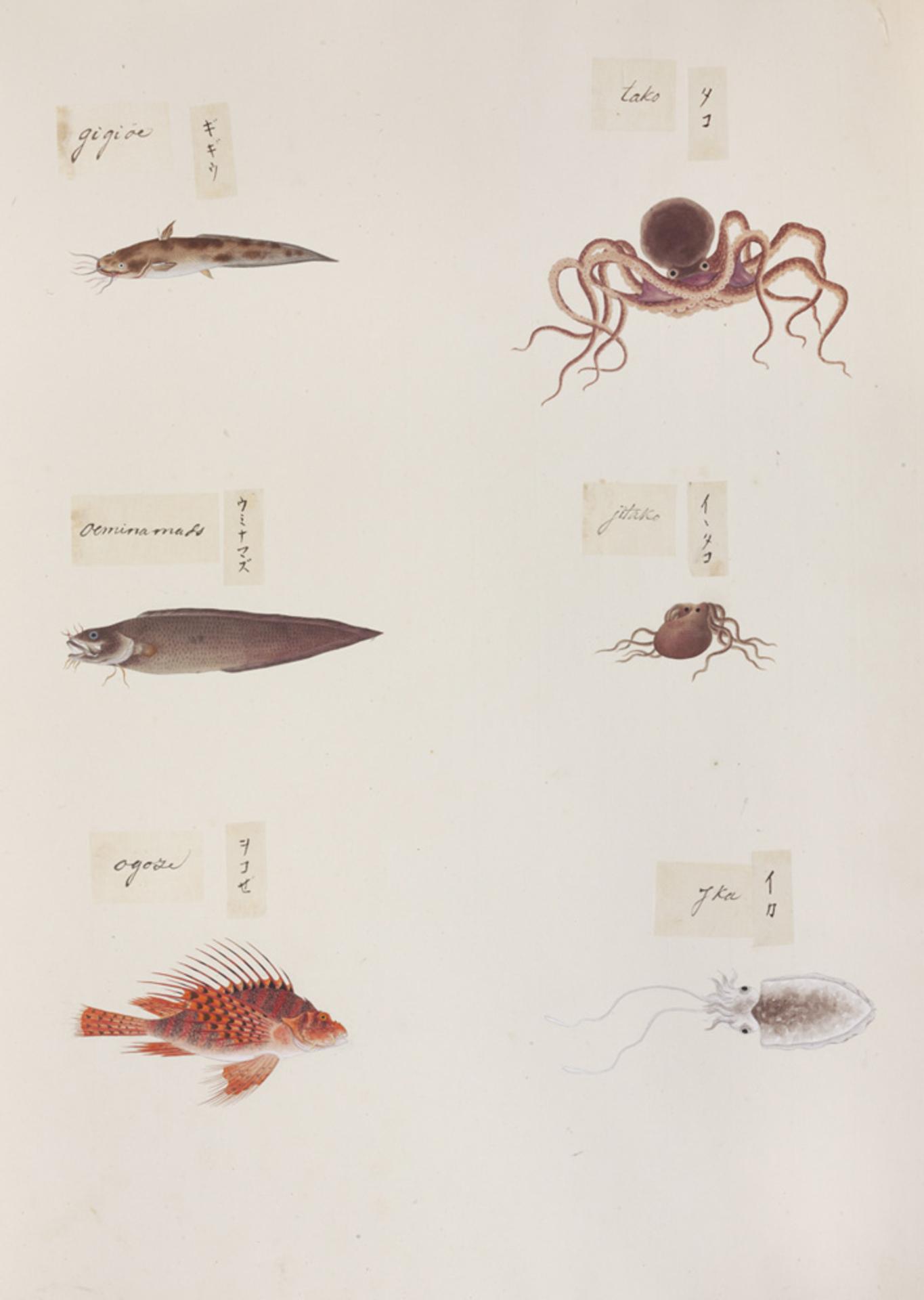 RMNH.ART.324 | Pterois Iunulatis