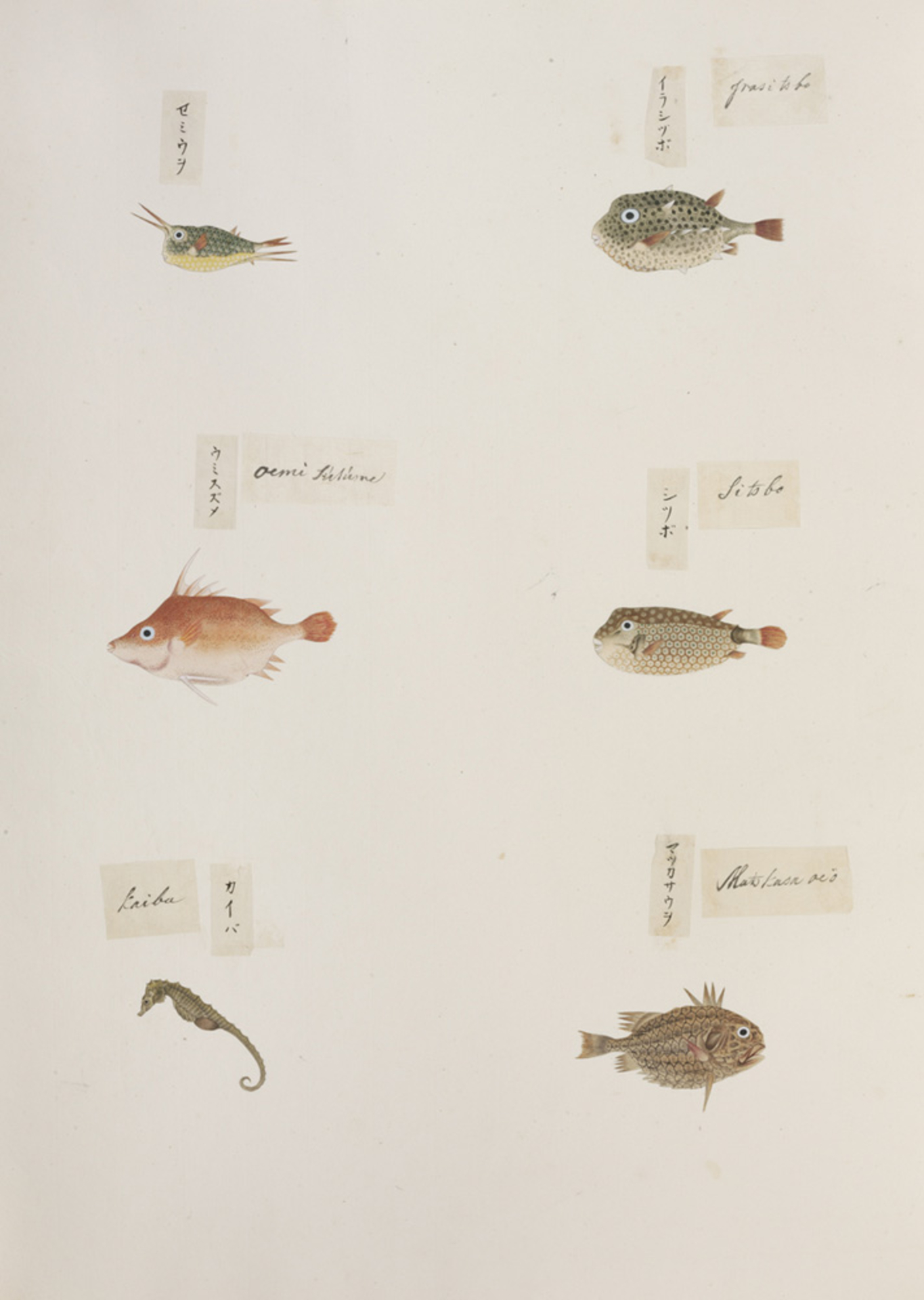 RMNH.ART.325 | Monocentris japonicus