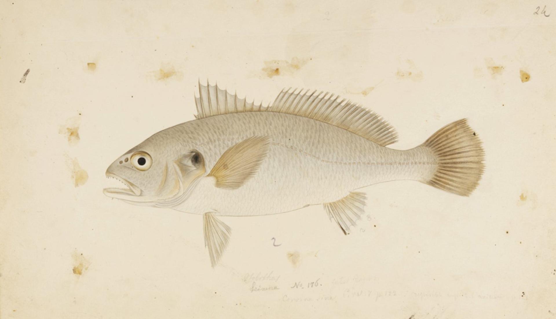 RMNH.ART.328 | Argyrosomus argentatus