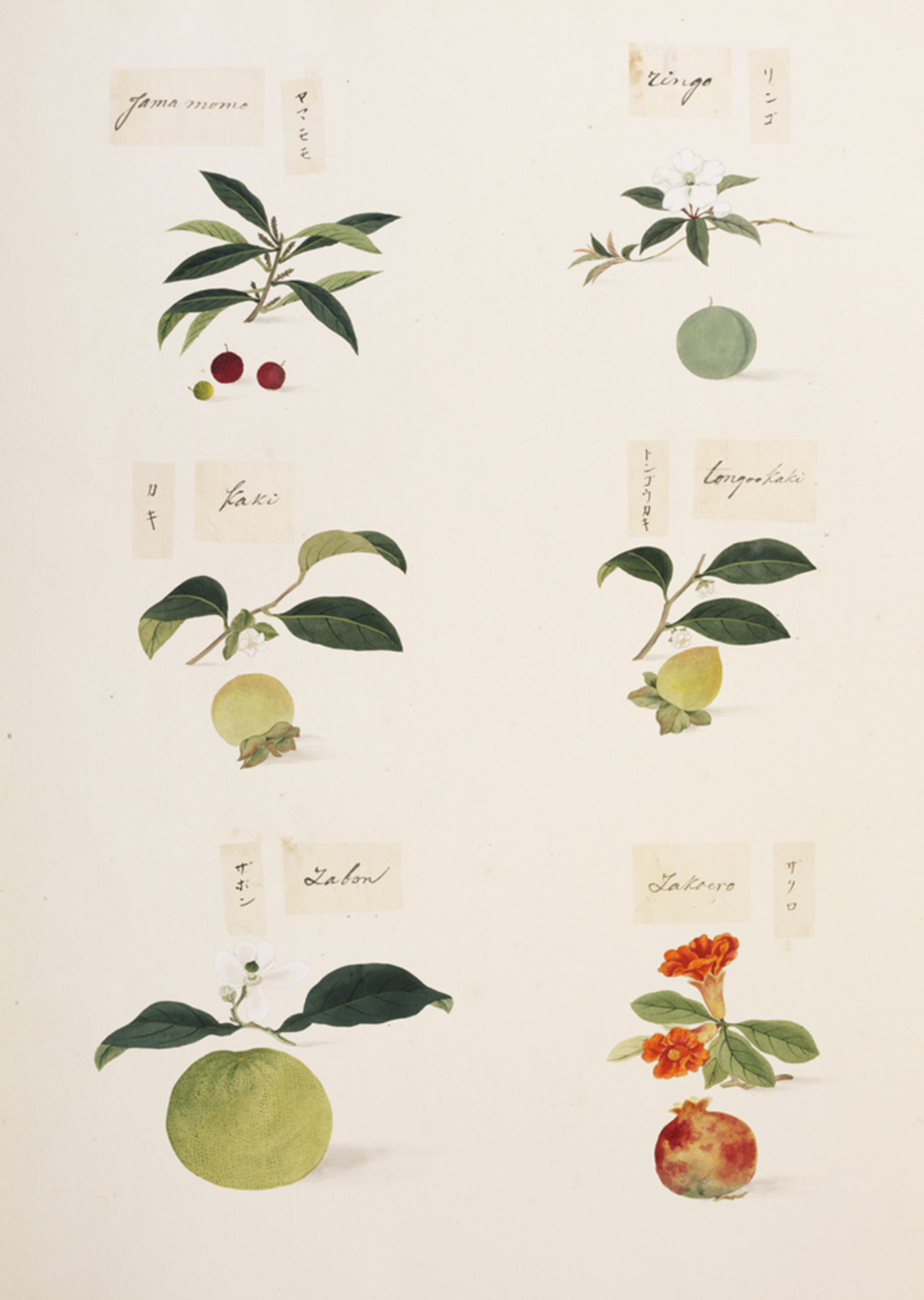 RMNH.ART.334 | Malus pumila var. Domestica