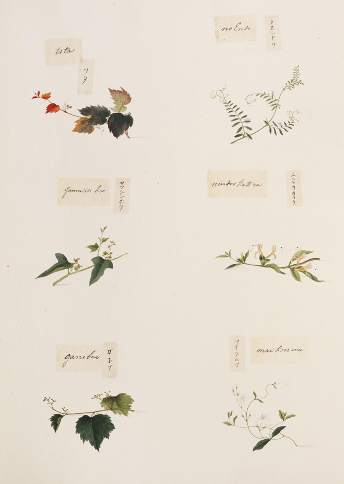 RMNH.ART.338 | Lonicera japonica