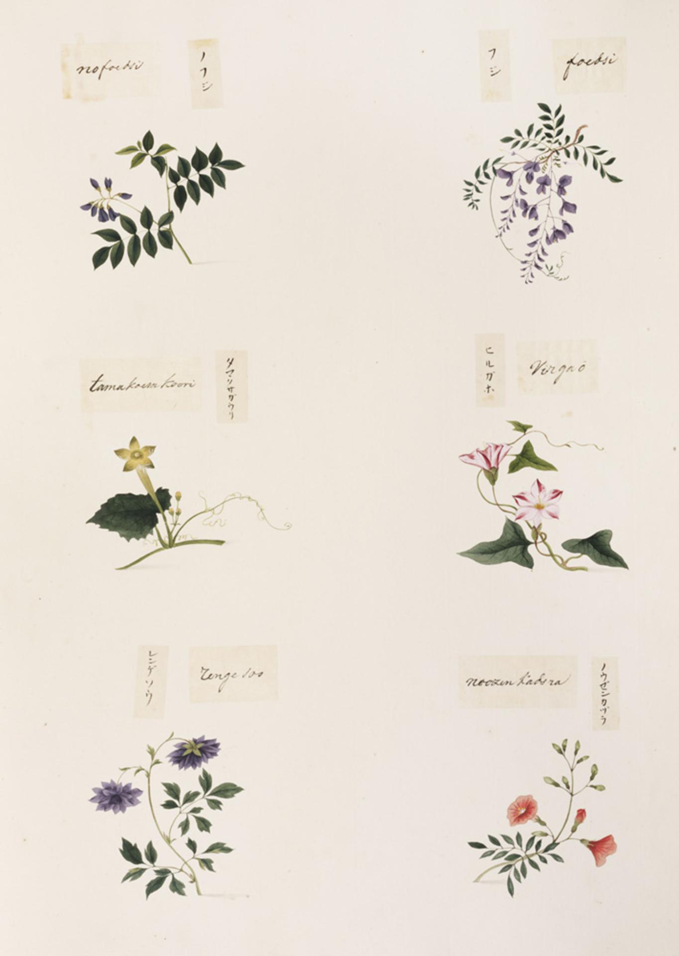 RMNH.ART.339 | Campsis grandiflora