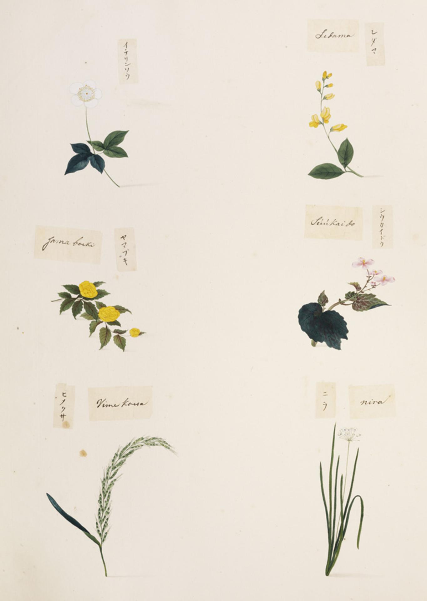 RMNH.ART.340 | Allium tuberosum
