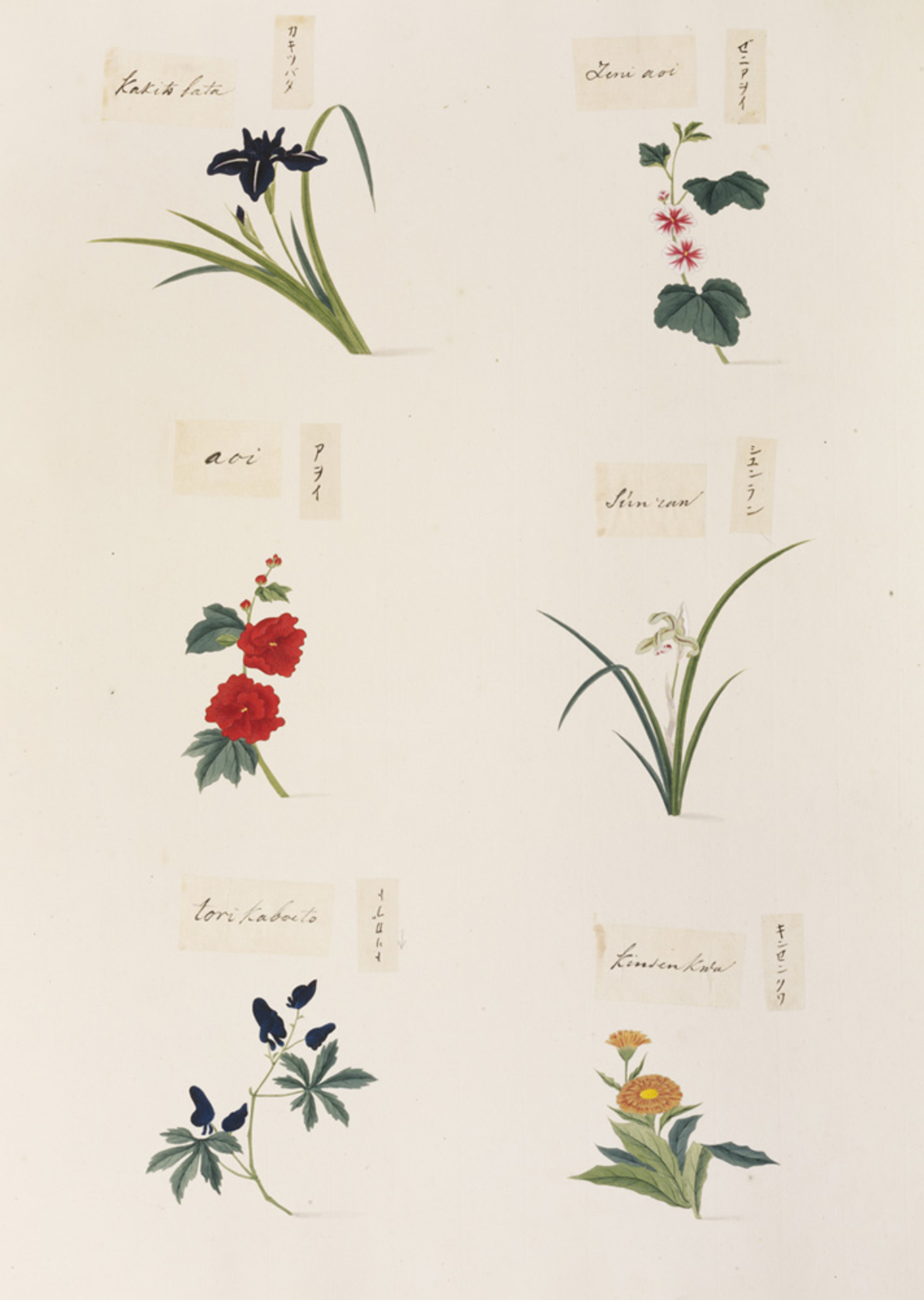 RMNH.ART.346 | Aconitum