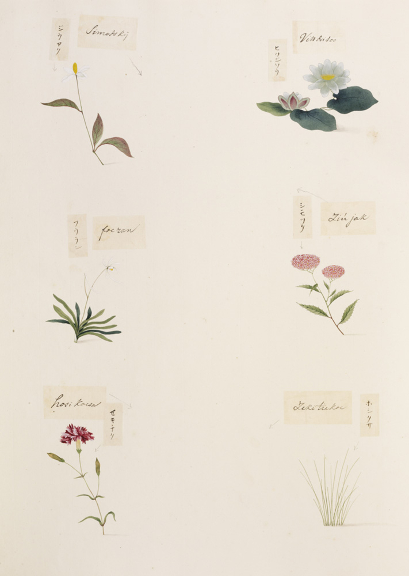 RMNH.ART.347 | Eriocaulon sp