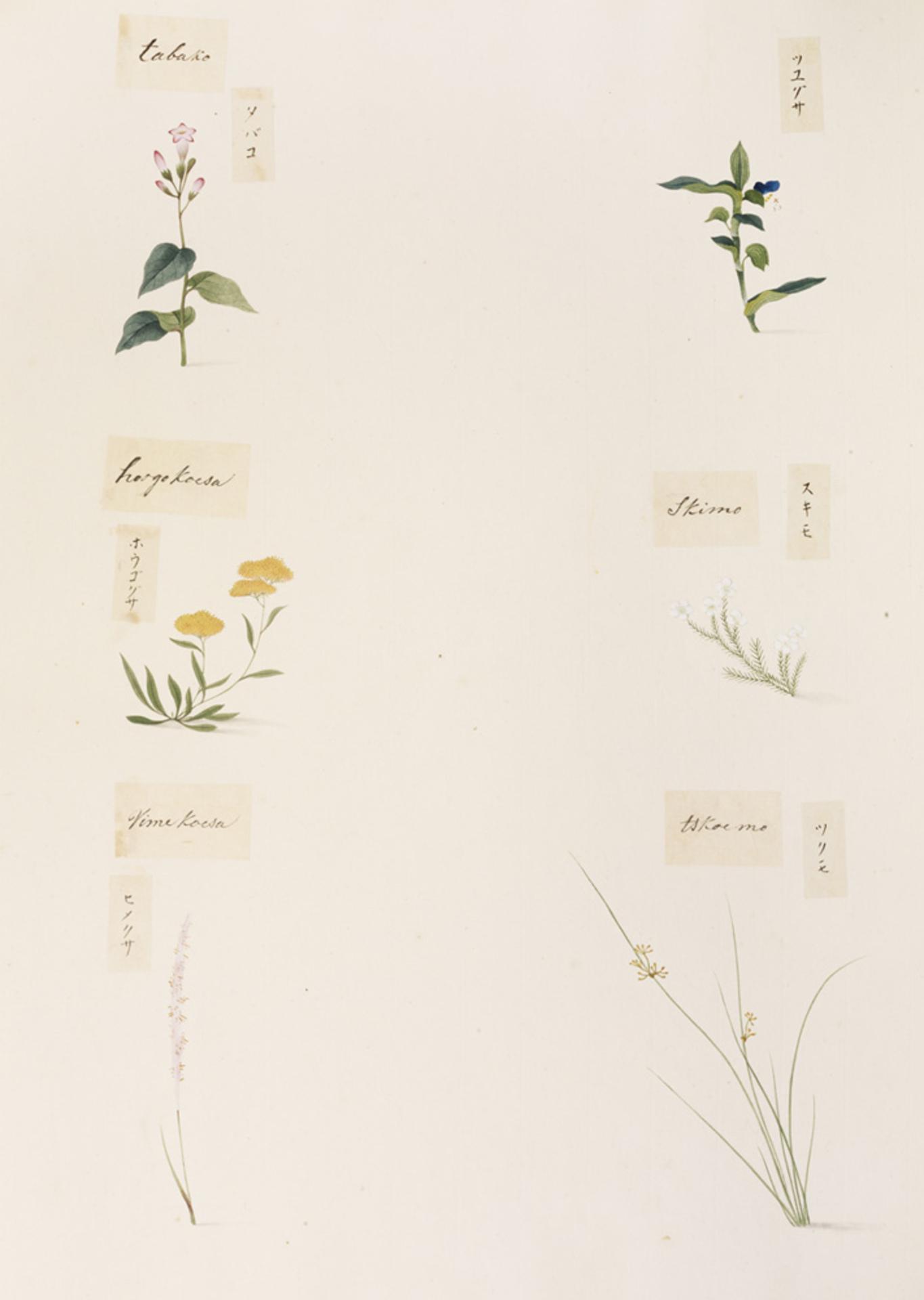 RMNH.ART.348 | Spiranthnes sinensis var. Amoena