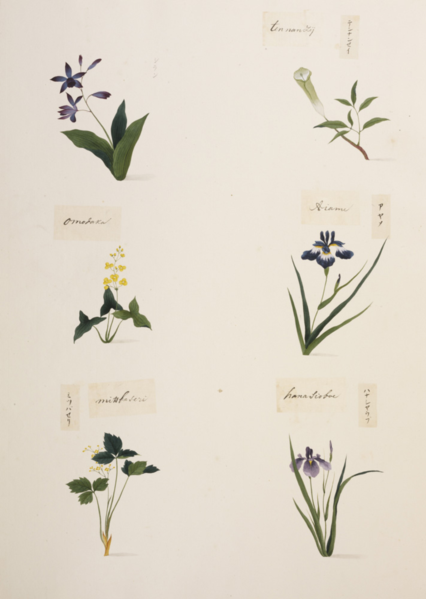 RMNH.ART.349 | Iris esnata var. ensata