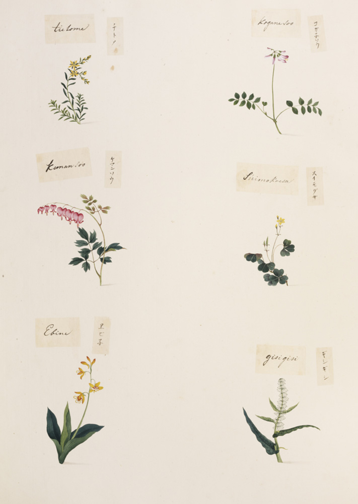 RMNH.ART.351 | Rumex japonicus