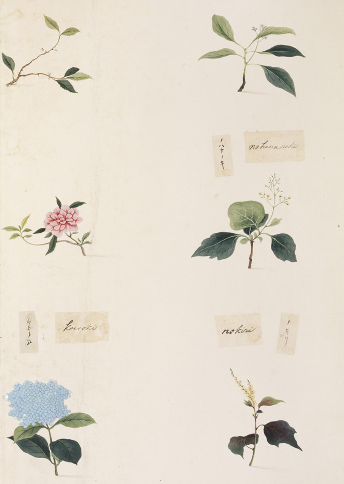 RMNH.ART.355 | Mallotus japonicus