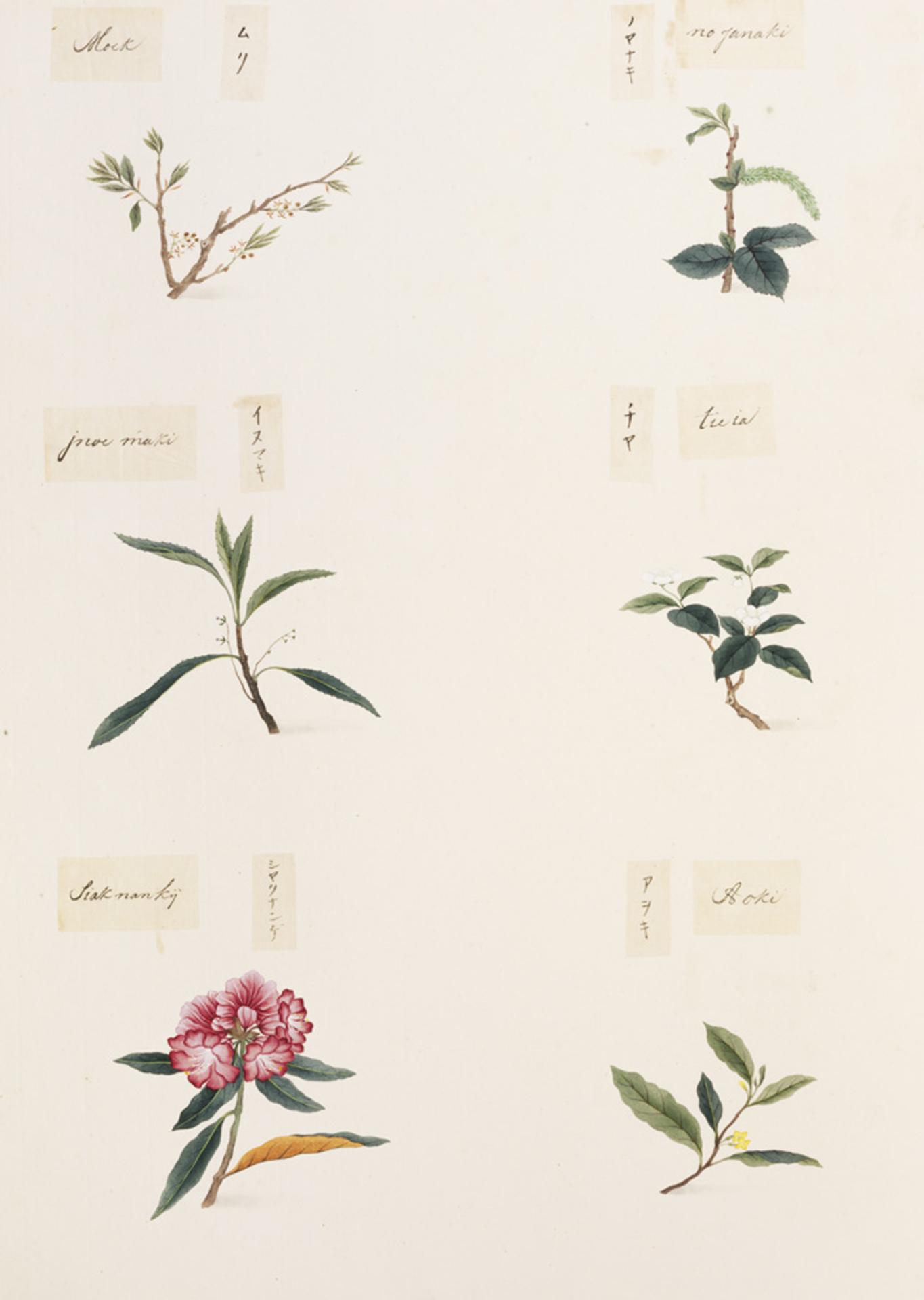 RMNH.ART.356 | Rhododendron metternichii