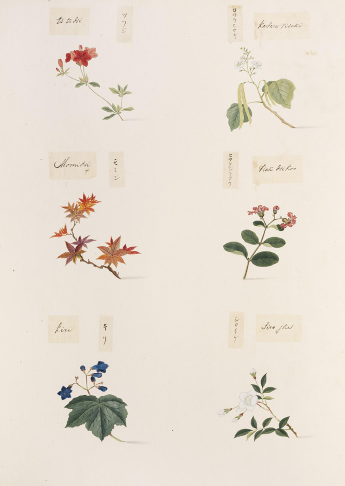 RMNH.ART.358 | Acer palmatum