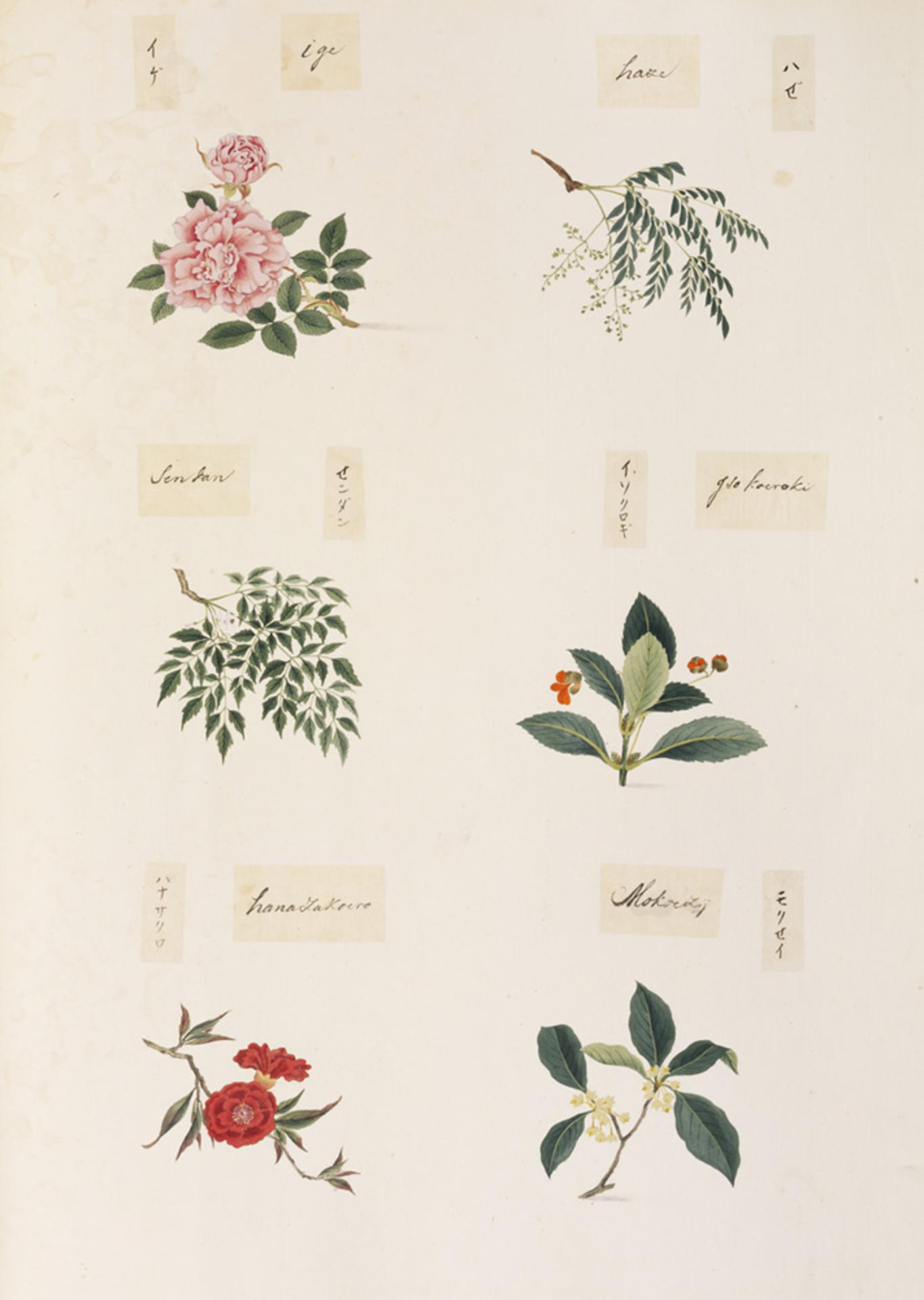 RMNH.ART.359 | Osmanthus sp.