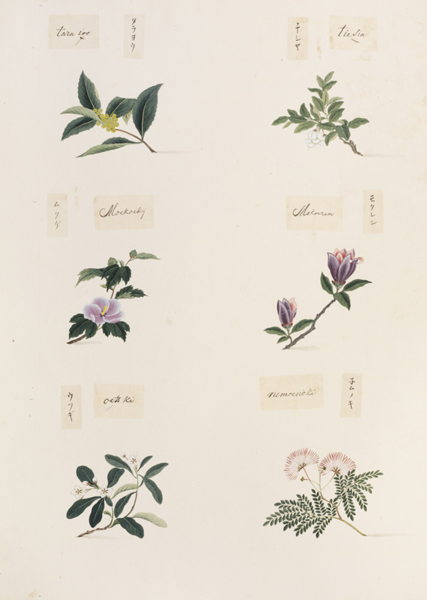 RMNH.ART.360 | Albizia julibrissin