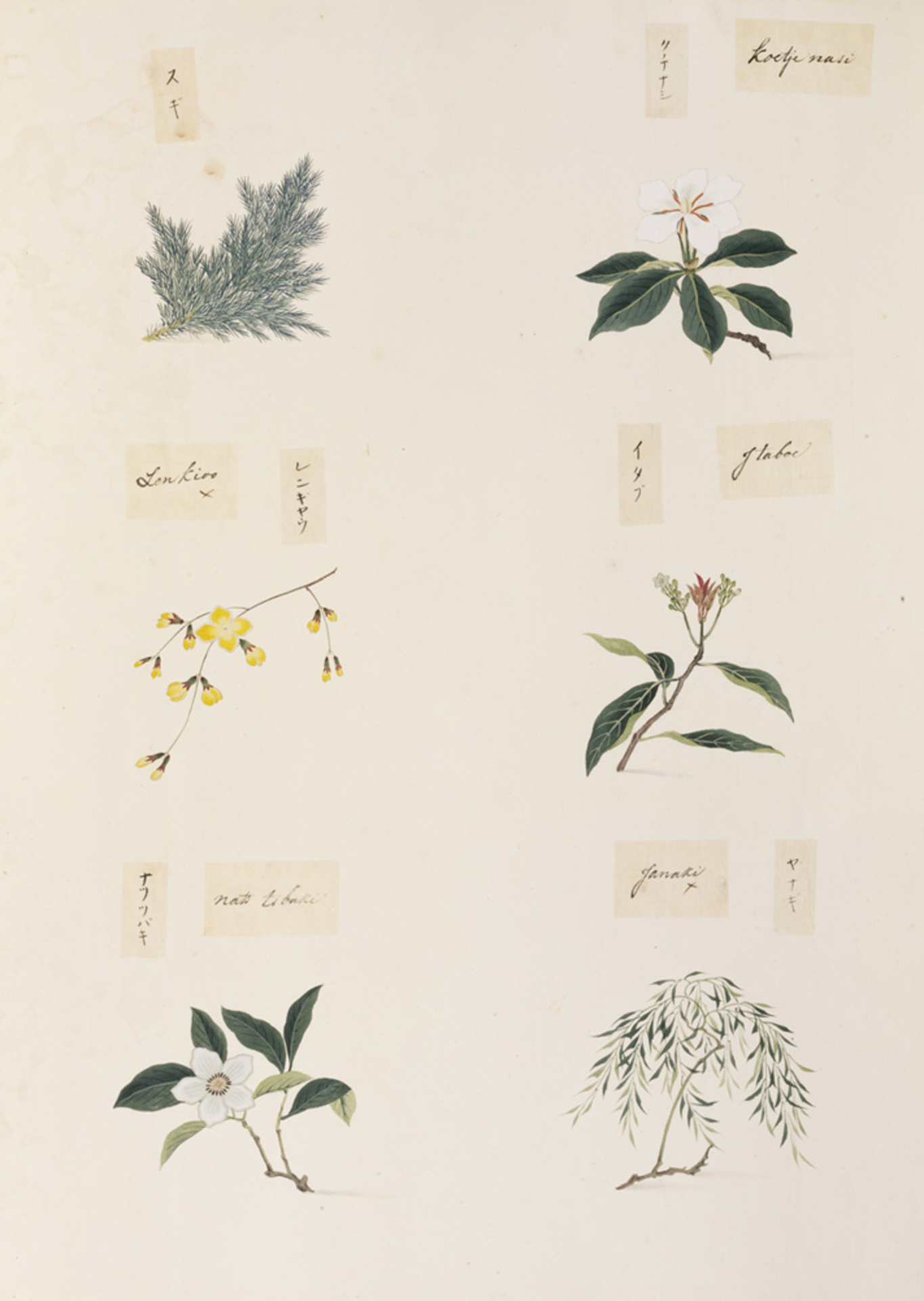 RMNH.ART.361   Salix sp.
