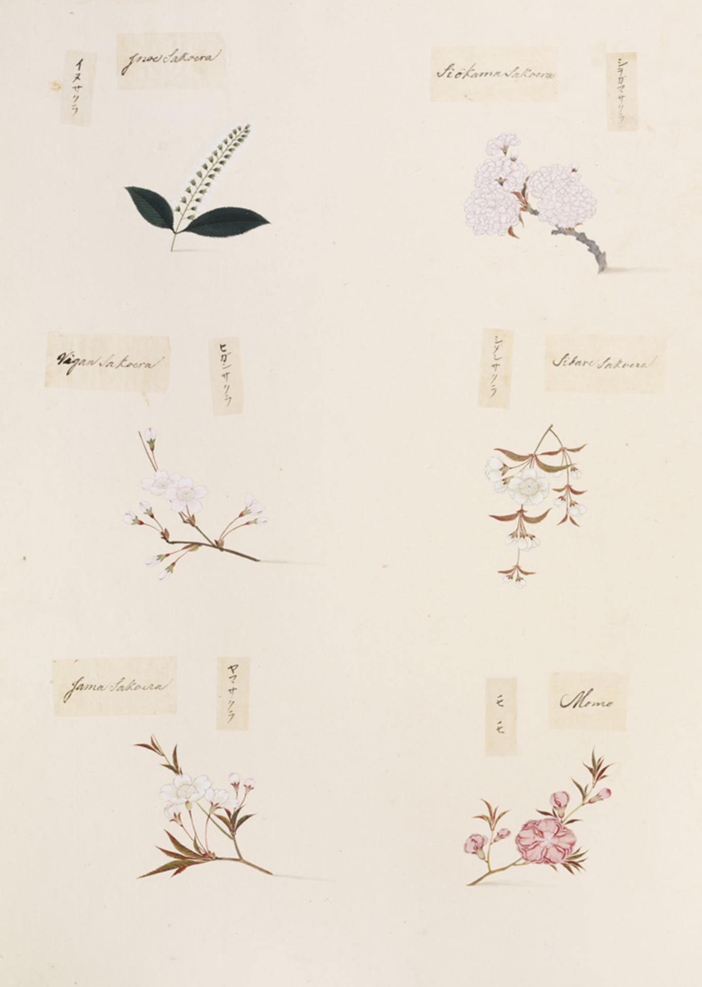 RMNH.ART.362 | Prunus persica