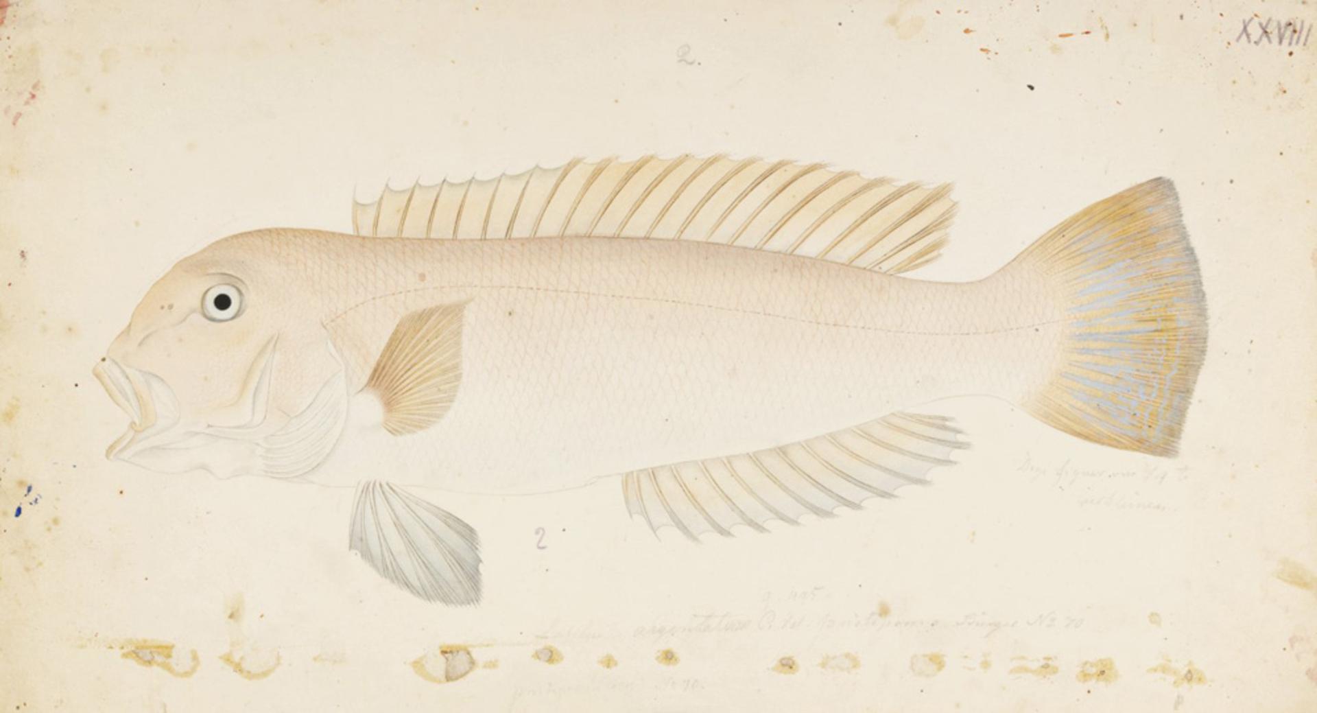 RMNH.ART.367 | Branchiostegus argentatus