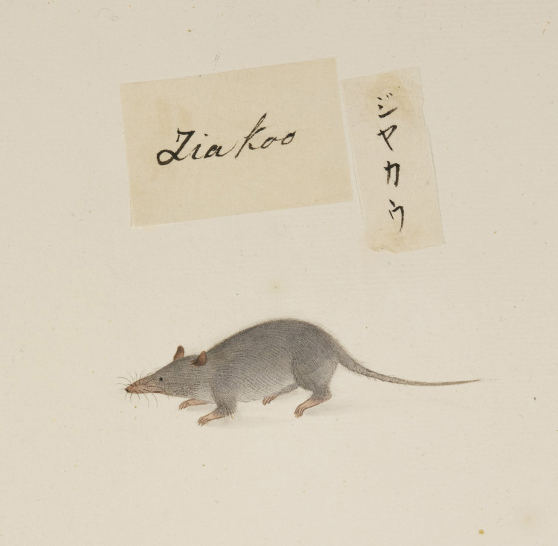 RMNH.ART.368   Suncus murinus