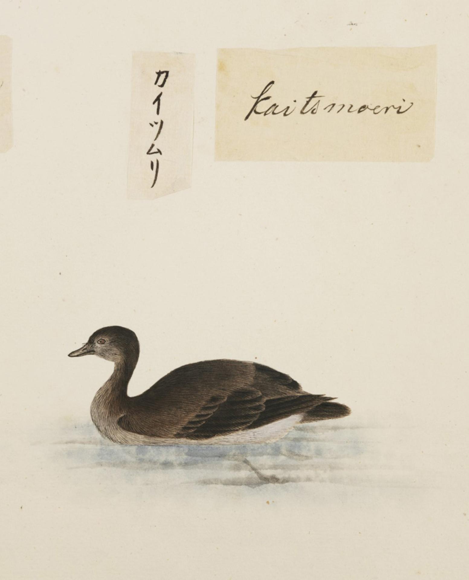 RMNH.ART.372 | Tachybaptus ruficollis