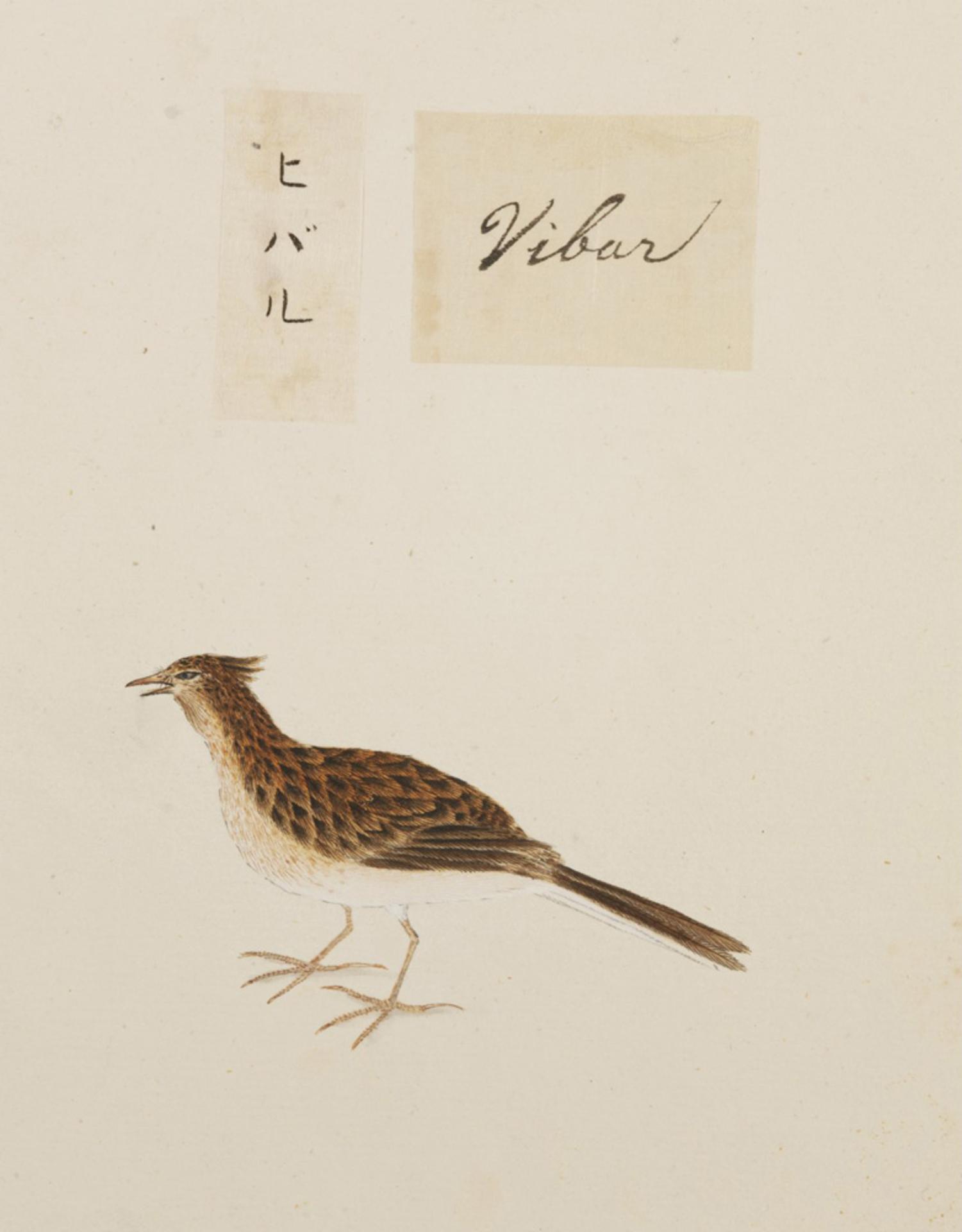 RMNH.ART.373 | Alauda arvensis