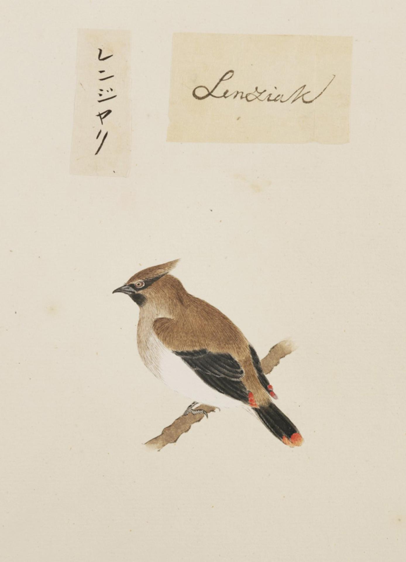 RMNH.ART.374 | Bombicilla japonica