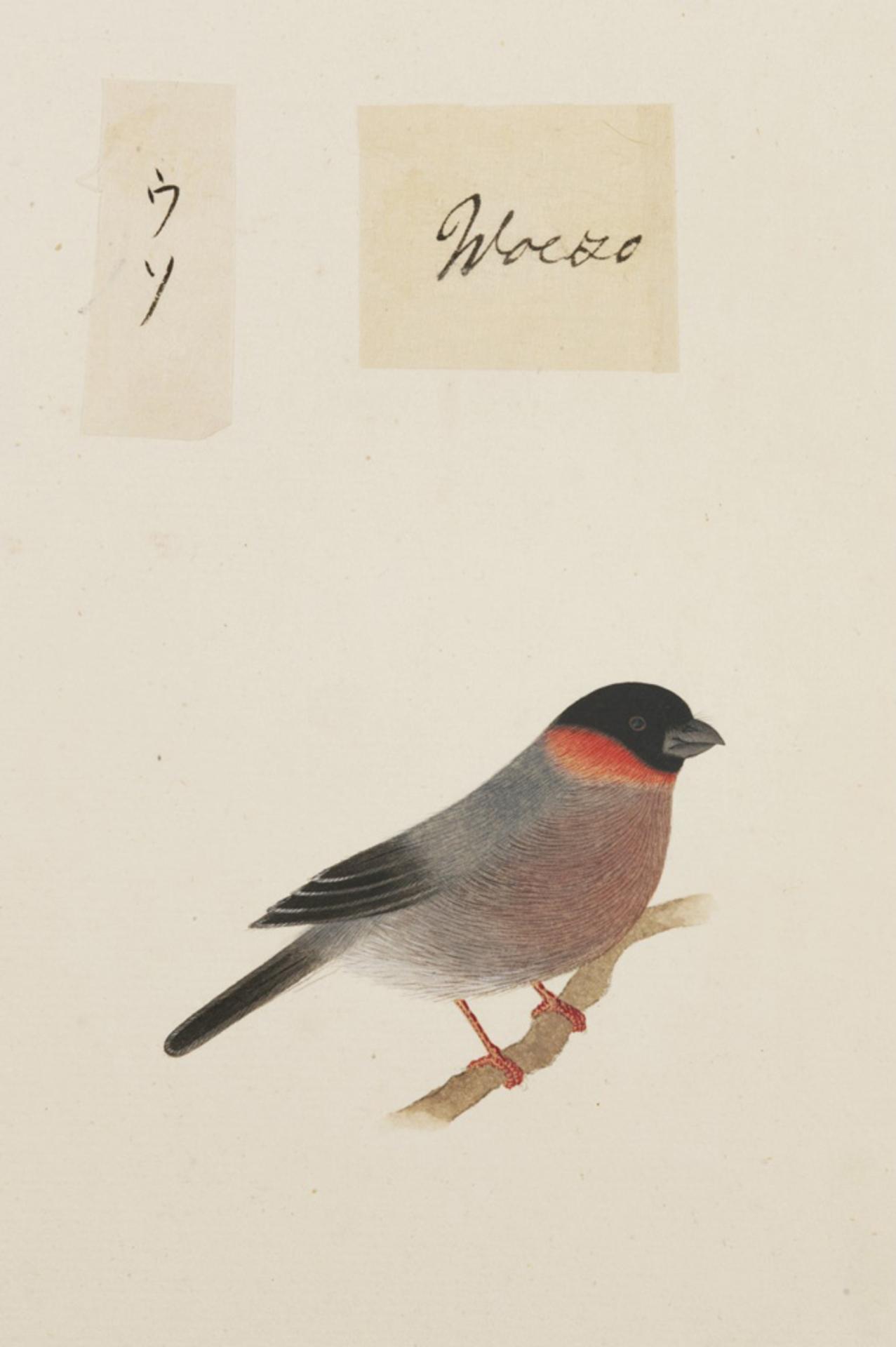 RMNH.ART.375   Pyrrhula pyrrhula
