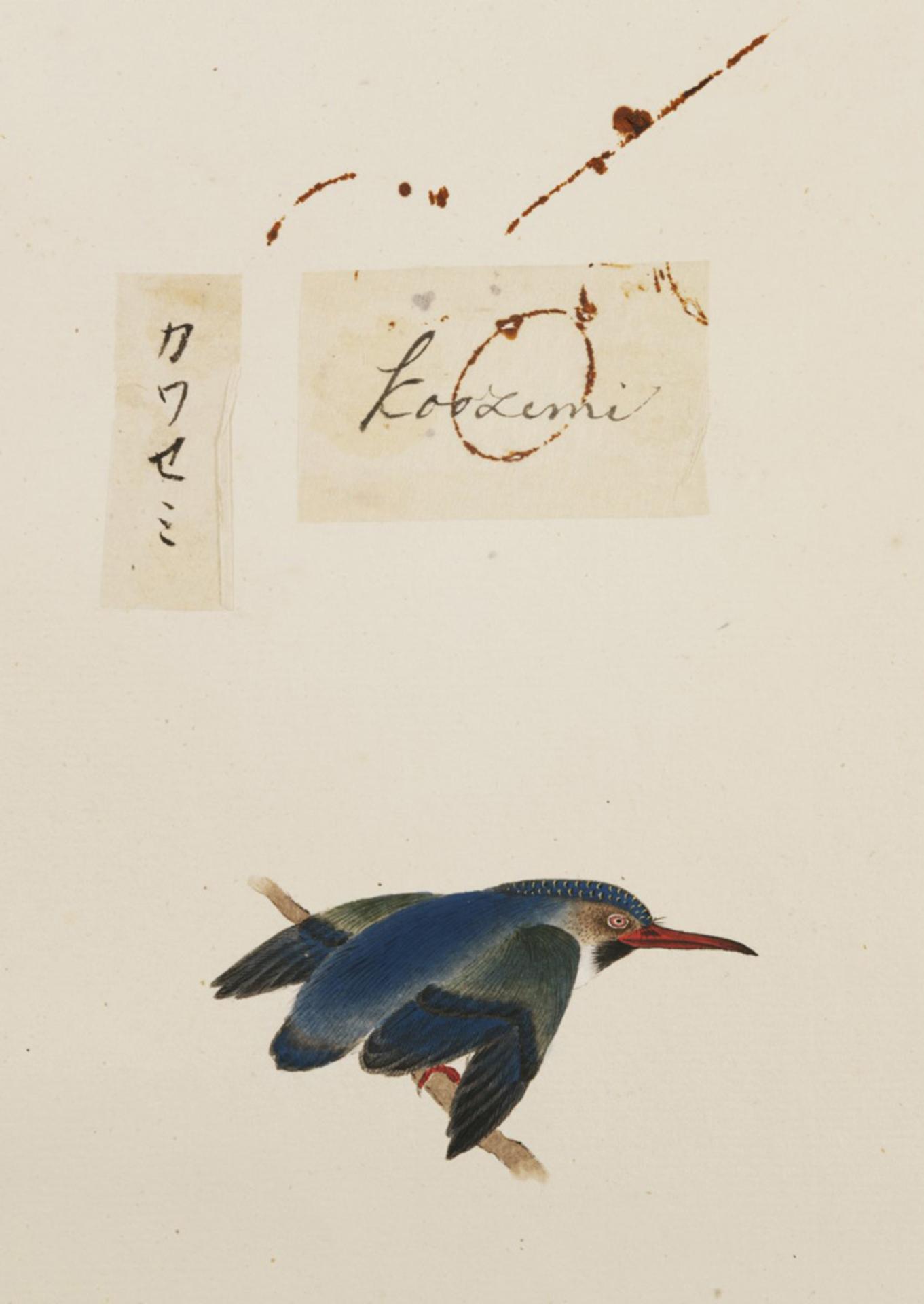 RMNH.ART.376 | Alcedo atthis