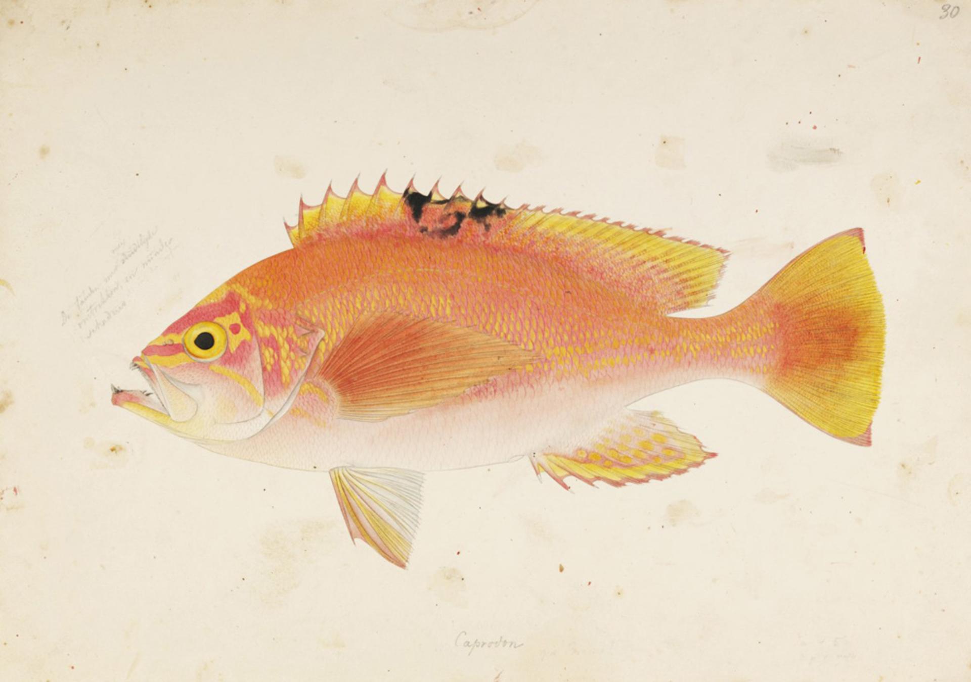 RMNH.ART.377 | Caprodon schlegeli