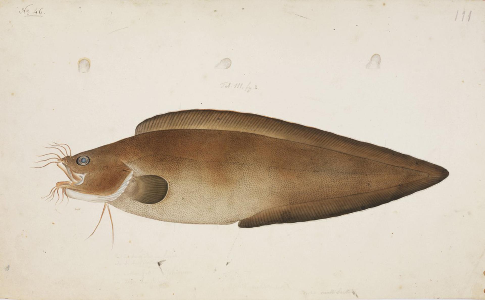 RMNH.ART.38   Brotula multibarbata