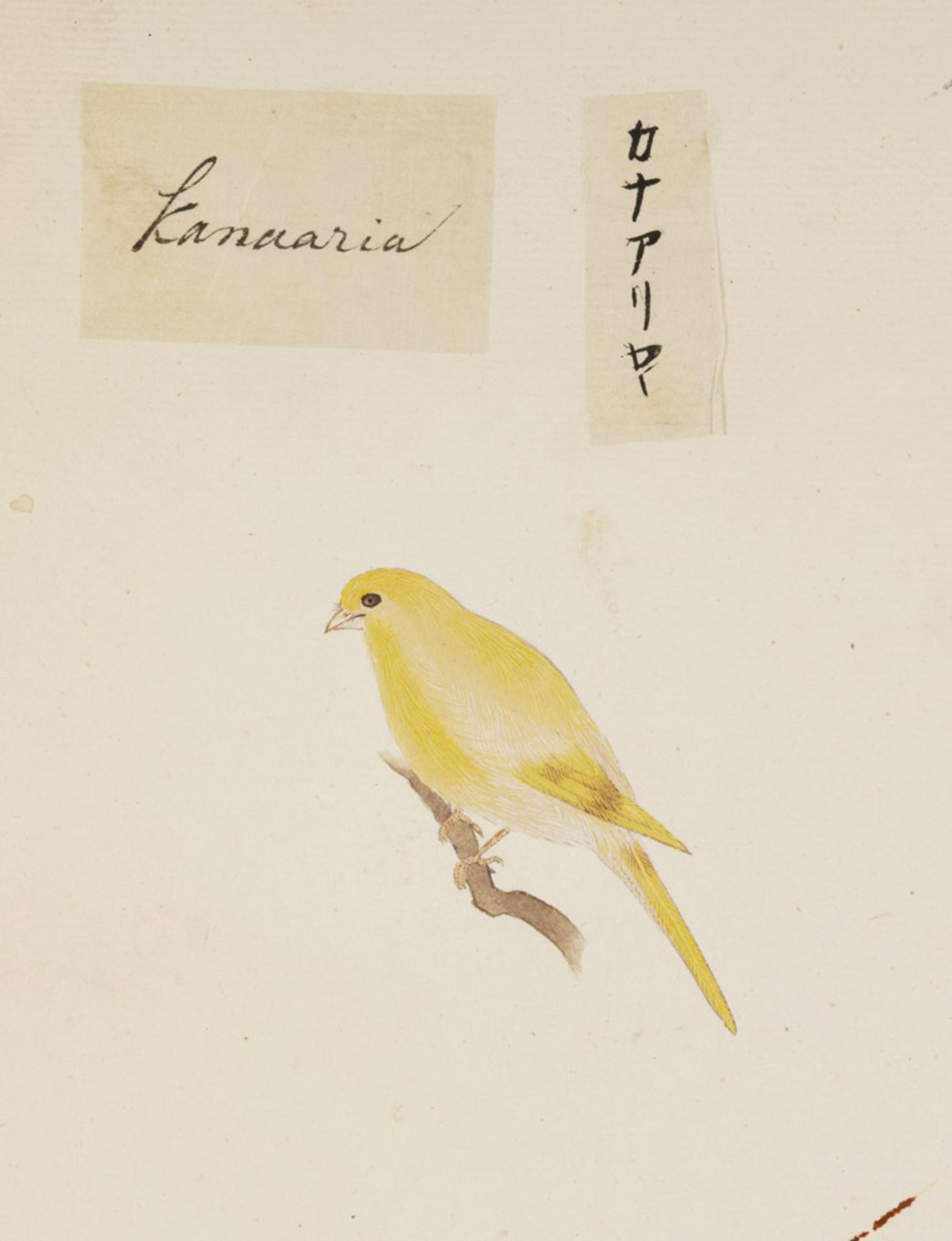 RMNH.ART.380 | Serinus canaria